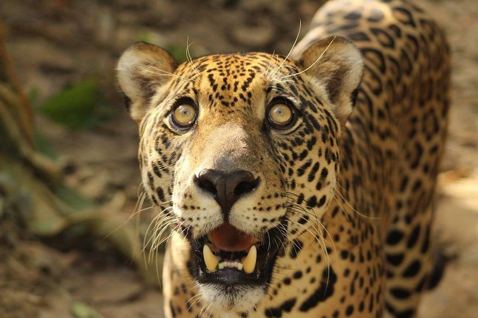 Build Kusiy the Jaguar a New Home!