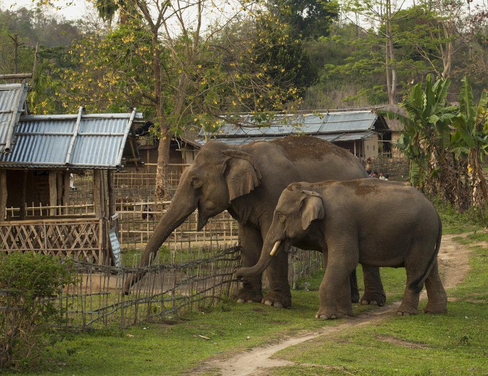 Saving Asian Elephants and protecting livelihoods