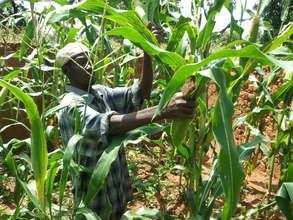 Youssouf harvesting corn
