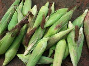 Harvested corn