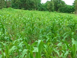 Corn Field as of Aug 2011