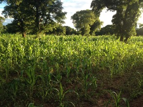 Grown Corn
