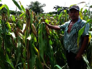 A Salvadoran farmer in his corn field