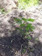 Tara plant