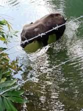 The Pregnant Elephant Died Standing in the Lake