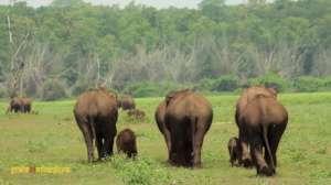 Elephants are Born to Roam Wild