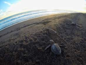 Olive ridley hatchlings on their way to the ocean