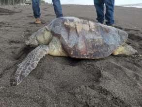 Stranded olive ridley sea turtle