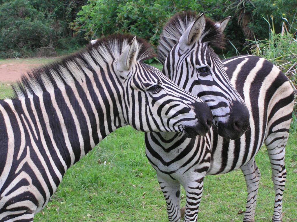 Help relocate 10 zebra in South Africa