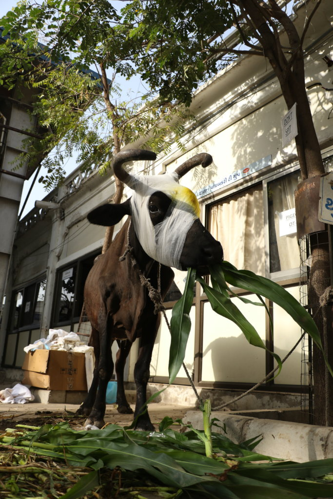 Save Homeless Abandon stray Cows in Gujrat.