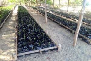mangrove seedlings to reforest Vilankulo mangrove