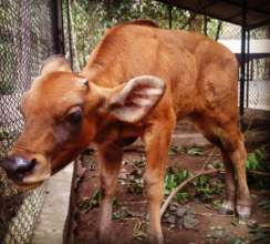 Baby Gaur Recovering at PTWRC
