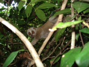 Slow loris thriving after release