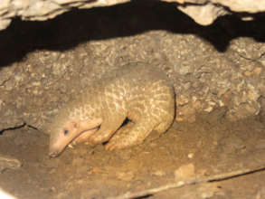 First image of the baby pangolin