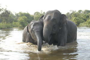 Lucky and Chhouk, Rescued Asian elephants