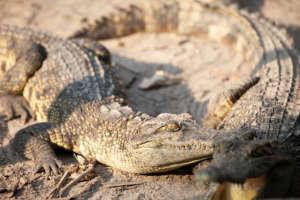 Critically Endangered Siamese Crocodile