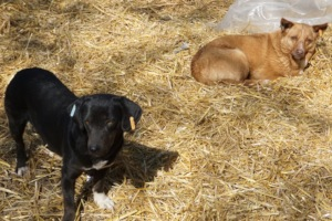 dogs on straw
