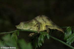 Saving the Chapman pygmy chameleon from extinction
