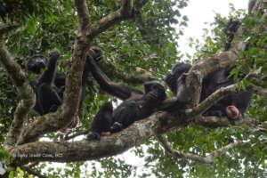 Female bonobos from the Ekalakala group