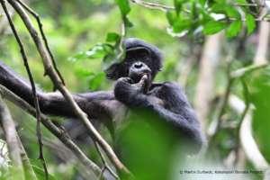 Presley, Nkokoalongo bonobo group
