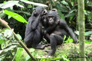 Young bonobos grooming at Kokolopori