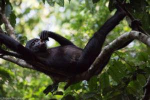 Koklopori bonobo. Photo Credit: Roland Hilgartner