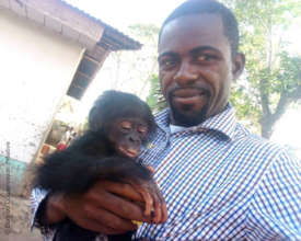 BCI partner Heritier Mpo with rescued bonobo