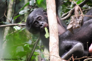 Peche, of the Ekalakala bonobo group