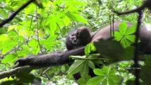 Bonobo relaxing at Kokolopori, spring 2016