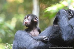 Rubin, one of the newest Ekalakala bonobos