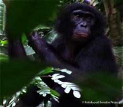 Meet Yangtze. Bekako bonobos are named for rivers