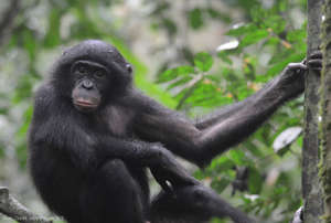 A bonobo relaxing in the Bonobo Peace Forest