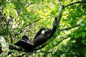 Bonobo in the Kokolopori Bonobo Reserve