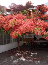 Flamboyant tree blooming in the workshop's patio