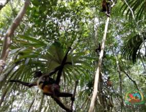 Liberation of spider monkeys B