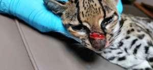 Injured margay