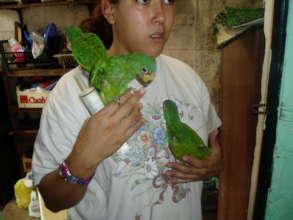 Feeding white-fronted parrot chicks