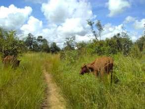 Cattle in Zambia
