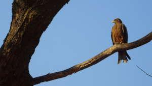 The Yellowbilled Kite