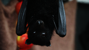 Black Flying-fox in care