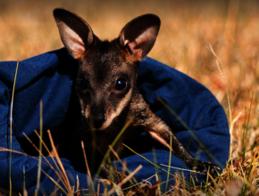 Wallaby joey in care with WIRES