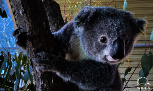 'Marine'- Female Koala rescued by WIRES