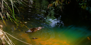 Rescued Platypus back in the wild