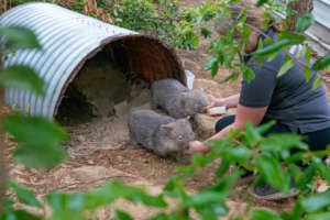 Wombat joeys in care with WIRES