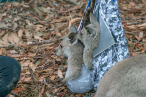 Kangaroo joeys in care with WIRES