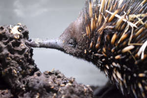 Echidna in care with WIRES