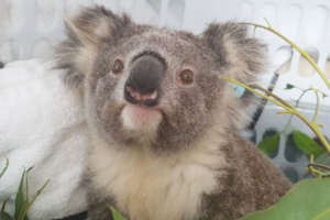 Koala rescued from Black Summer Bushfires
