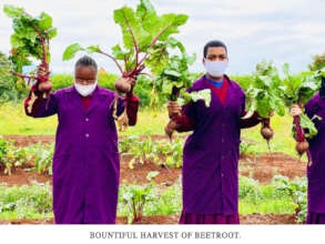 A bountiful harvest of beetroot.