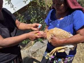 Chicken vaccination