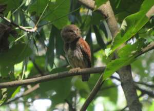 Chestnut-backed owlet in the forest